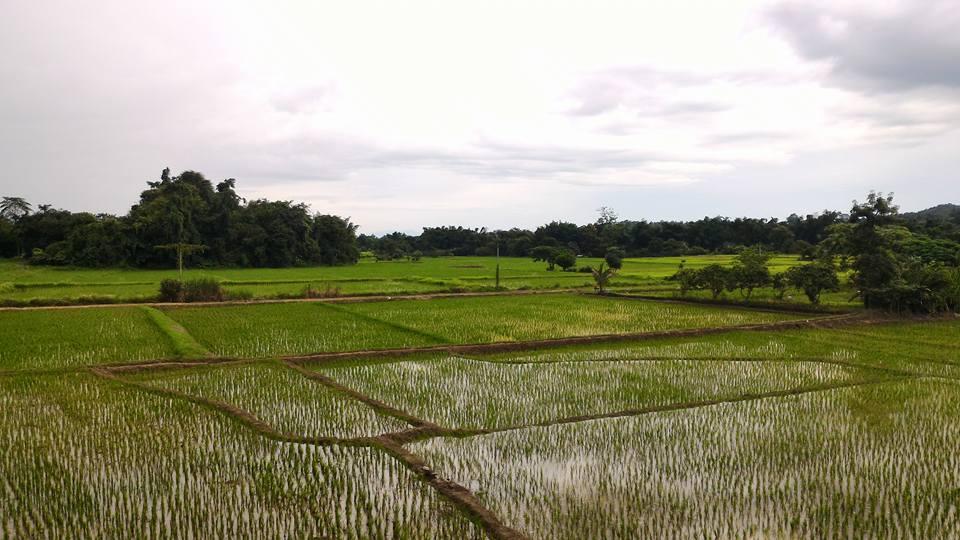 rizière -thaïlande